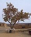 14 Acoma Pueblo tree.jpg