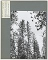1967. Ponderosa pines with crowns thinned by Elytroderma disease. Several other diseases cause thinning of crowns. Eastern Oregon, near John Day. (34244522132).jpg