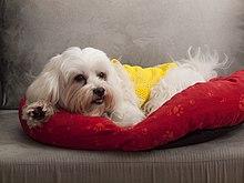 Maltese (Dog Breed) - Wikipedia