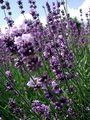 2007-06-16 Lavendel.JPG
