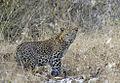 2007-kabini-leopard.jpg