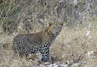 Nagarhole National Park - A leopard near the Balle gate
