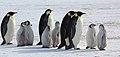 2007 Snow-Hill-Island Luyten-De-Hauwere-Emperor-Penguin-62.jpg