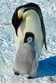 2007 Snow-Hill-Island Luyten-De-Hauwere-Emperor-Penguin-90.jpg