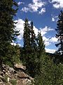 2013-07-14 10 53 00 Several Engellmann Spruce along the Wheeler Peak Summit Trail.jpg