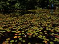 2013-08-25 13 32 07 Closer view of water lillies in Spring Lake near 154 Lake Road in Berlin, New York.jpg