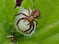 2013.06.05.-03-Kirschgartshaeuser Schlaege Mannheim-Braune Krabbenspinne-Weibchen-bewacht Eikokon.jpg