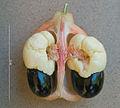 2013.11-411-169 Akee,fruit(part),seed&aril(i-s) Bobo-Dioulasso,BF thu14nov2013-0953h.jpg