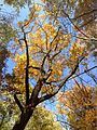 2014-10-30 13 20 52 Tulip Tree during autumn in the woodlands along the West Branch Shabakunk Creek in Ewing, New Jersey.JPG