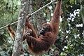 2014 Borneo Luyten-De-Hauwere-Bornean orangutan-08.jpg