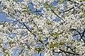 2014 Kwiaty wiśni.jpg