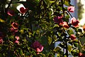 2015-03-16 Bougainvillaea in Lumbini(Sri Lanka temple)ルンビニ・スリランカ寺 DSCF1317.jpg