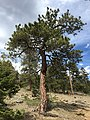 2015-04-30 15 58 01 Ponderosa Pine along the Trail Canyon Trail in the Mount Charleston Wilderness, Nevada about 1.9 miles north of the trailhead.jpg