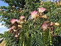 2015-07-31 15 09 28 Mimosa flowers along Old Ox Road (Virginia State Secondary Route 606) in Sterling, Virginia.jpg