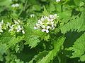 20150421Alliaria petiolata1.jpg