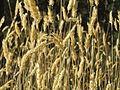 20150710Anthoxanthum odoratum1.jpg