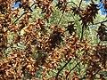 20160908Carpinus betulus1.jpg