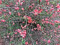 2017-02-28 14 55 08 Flowering Quince blossoms along Allness Lane in the Chantilly Highlands section of Oak Hill, Fairfax County, Virginia.jpg