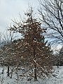 2017-12-10 08 12 58 A snow-covered Pin Oak along a walking path on the morning after a wet snowfall in the Franklin Farm section of Oak Hill, Fairfax County, Virginia.jpg