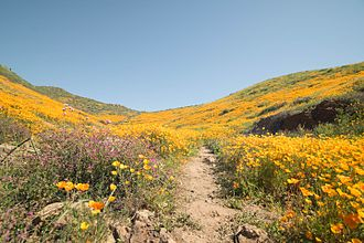 """Flora of the Sonoran Desert - Unique weather conditions lead to a """"super bloom"""" in March 2017."""