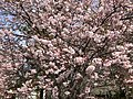2019-04-06 12 05 47 Autumn Cherry blossoms along Lees Corner Road in the Franklin Farm section of Oak Hill, Fairfax County, Virginia.jpg