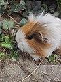 220620 - guinea pig - Laura Pernigoni.jpg