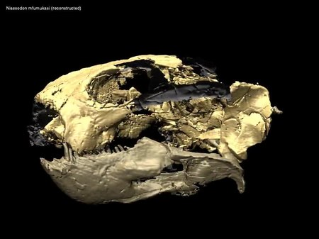 File:3D animation of reconstructed skull and atlas of Niassodon mfumukasi - pone.0080974.s002.ogv