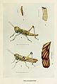 46-Indian-Insect-Life - Harold Maxwell-Lefroy - Hieroglyphus-furcifer.jpg