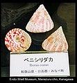 6 Tectus conus at Endo museum.jpg
