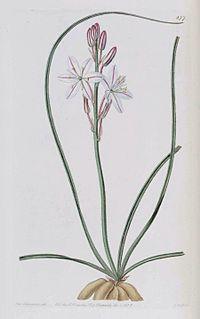 877 Trachyandra ciliata