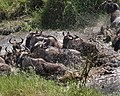 9117 Serengeti migration JF.jpg