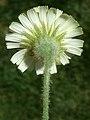 A.integrifolia-cap.-3b.jpg