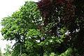 AB ND16 Quercus.jpg