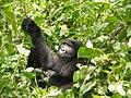 AOruzogo Mountain GorillaP1070619 (6734899431).jpg
