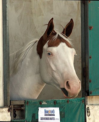 "Horse markings - A tovero horse with blue eyes and ""Medicine hat"" markings."