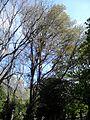 AZ0016. Ulmus Purpurea in May, army or olive green. Warriston Cemetery, Edinburgh.jpg