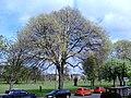 AZ0114 Ulmus x hollandica. Hermitage Place, Edinburgh. (03).jpg
