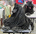 A Corded Poodle Dog Show.jpg