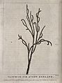 A branch of rimu or red pine (Dacrydium cupressinum). Engrav Wellcome V0043186.jpg