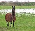 A brown Llama (Lama glama) - geograph.org.uk - 1631821.jpg