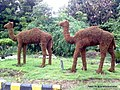 A camel couple at Rahate Colony square - panoramio.jpg
