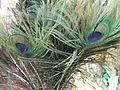 A close-up of peacock's feather1.JPG