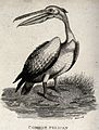 A common pelican standing on the shore of a river. Etching b Wellcome V0021204.jpg