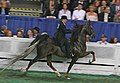 "A five Gaited Horse at the 2009 Worlds Championship Horse Show peforming the ""rack"" (3930800786).jpg"