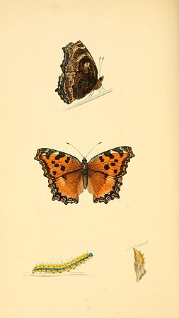 A history of British butterflies BHL14821225.jpg