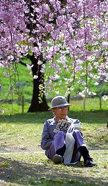 A reader under sakura in Japan.jpg