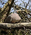 A wood pigeon at City of London Cemetery and Crematorium 03.jpg