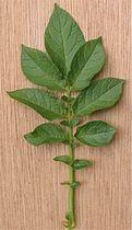 Aardappel blad Solanum tuberosum.jpg