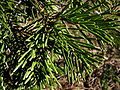 Abies concolor 8076.jpg