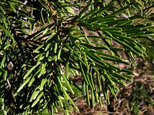 Abies concolor - Image: Abies concolor 8076